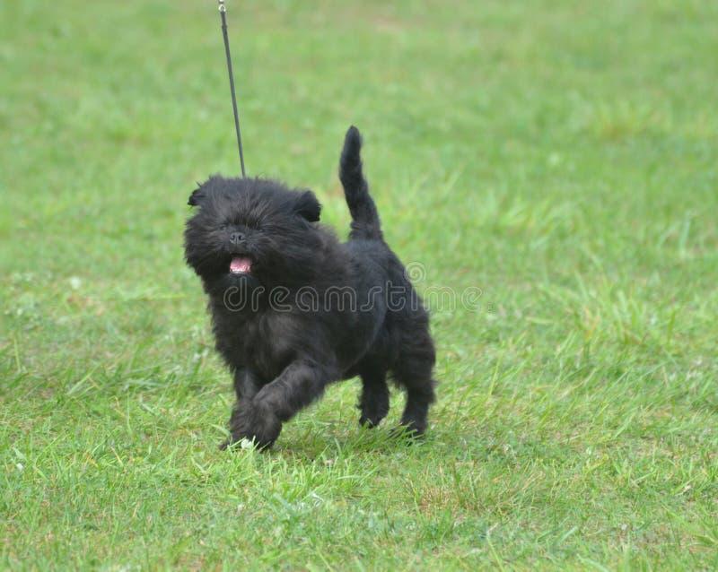 Lächelnder schwarzer Affenpinscher-Hund stockbilder