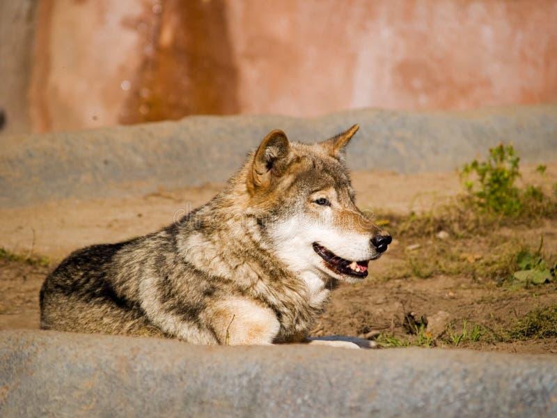 Lächelnder Wolf lizenzfreie stockfotos