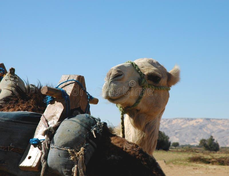 Lächelndes Kamel stockfoto