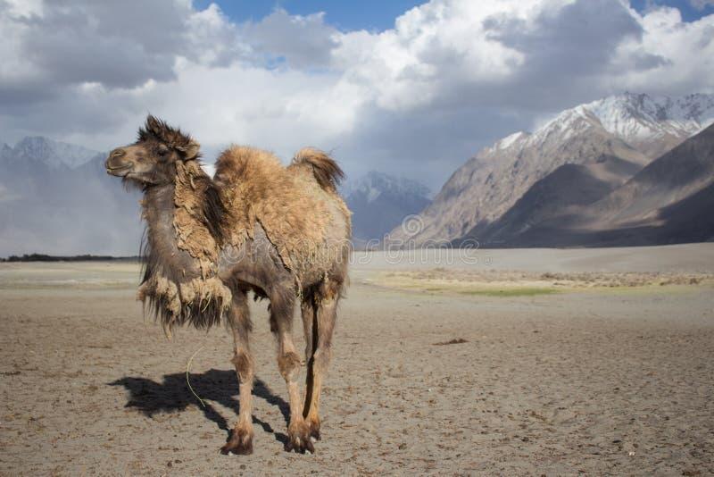 Lächelndes Kamel auf der Wüste stockfoto