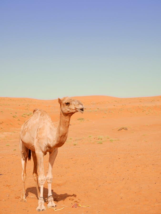 Lächelndes Kamel in Wahiba-Wüste, Oman stockbild