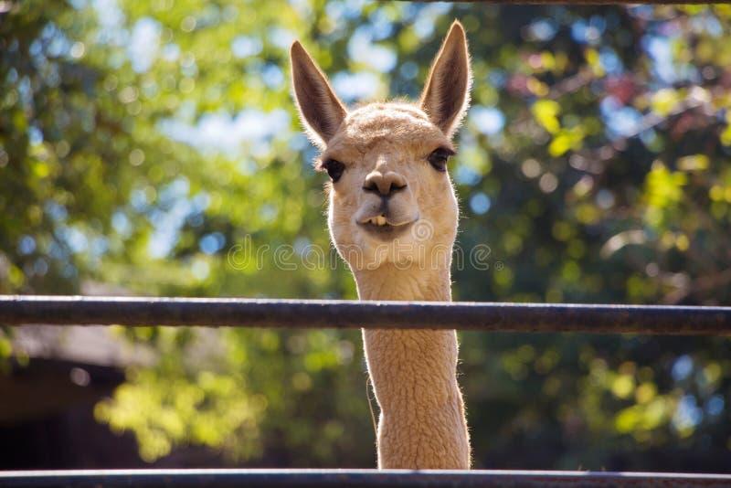 Lächelndes Lama lizenzfreie stockfotos
