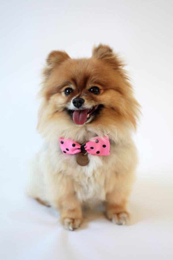 Lächelndes Pomeranian mit Polkapunktbogen lizenzfreie stockfotos