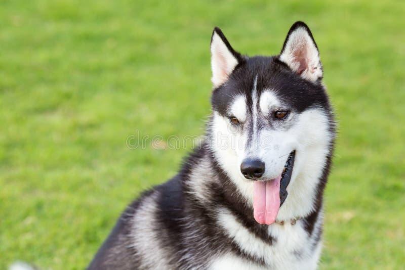 Lächelndes Porträt des sibirischen Huskys stockfoto