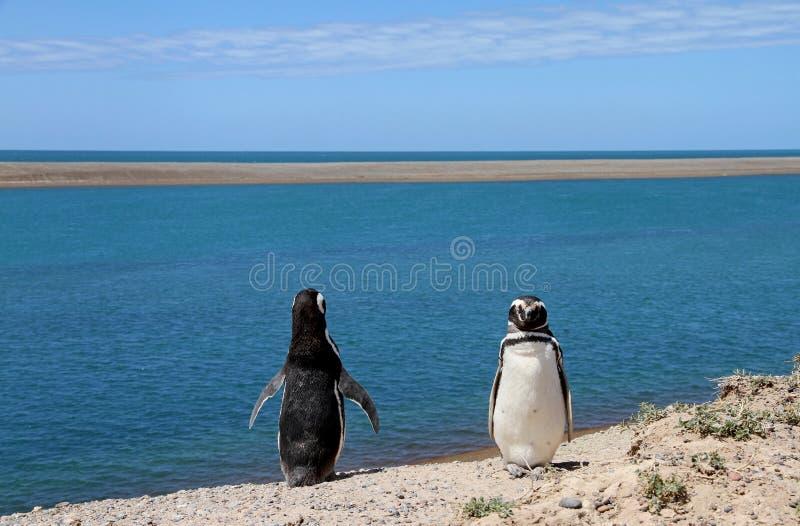 Lächerliche Paare der Pinguine Magellanic auf der atlantischen Küste.