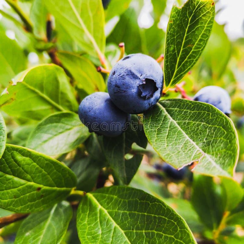 Läckra blåbär -, sund bärfrukt Vacciniumcorymbosum, h?g bl?b?rbuske Blå mogen frukt på arkivfoto