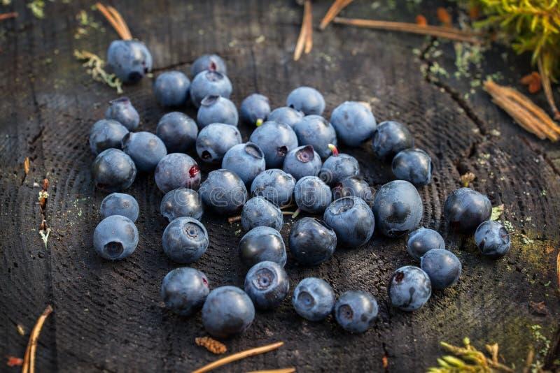 Läckra mogna blåbär som ligger på en stor trädstubbe i en pinjeskog royaltyfria foton
