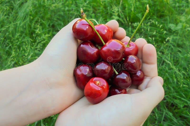 Läckra röda körsbär i barn gömma i handflatan på bakgrunden av grönt gräs arkivbilder