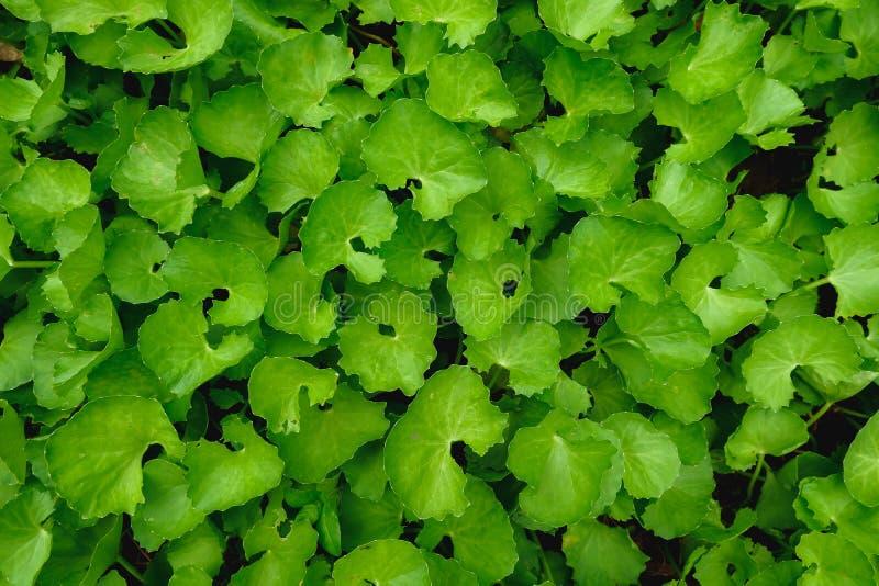 Lägenheten för den bästa sikten lägger av texturerade asiatica gröna sidor för den Gotu kolaCentellaen royaltyfri fotografi