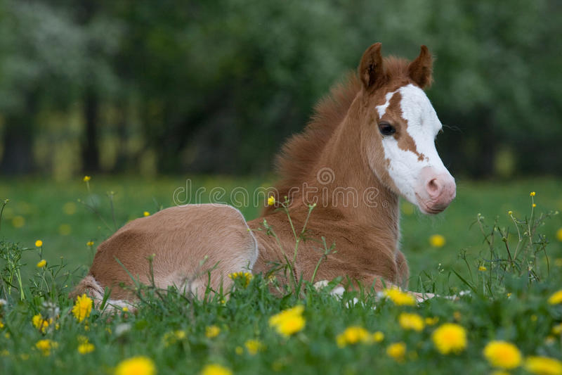 Lägga fölet för welsh ponny royaltyfri bild