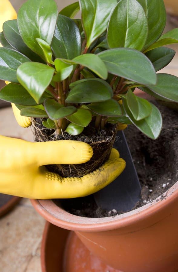 lägga in för växt fotografering för bildbyråer