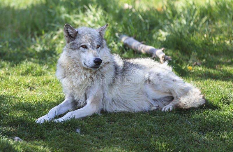 läggande ner av wolfen royaltyfri foto