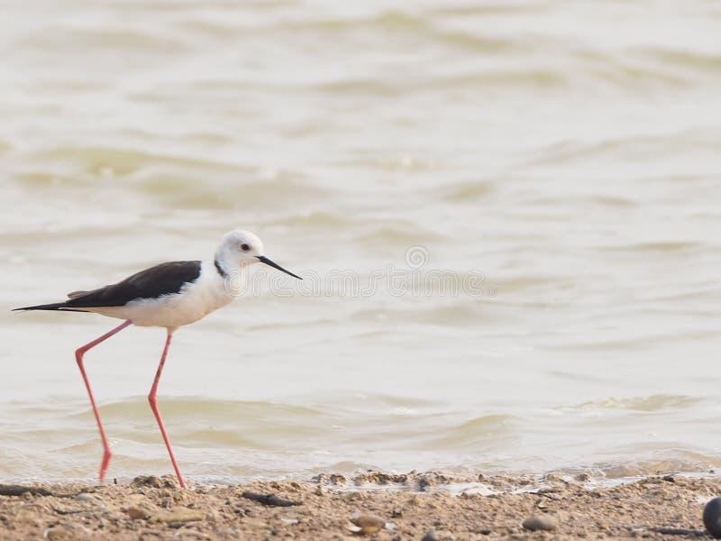 Lägger benen på ryggen den långa svarta spetsiga munnen för den svarta bevingade styltafågeln mycket länge rött, och rosa är baks royaltyfri foto