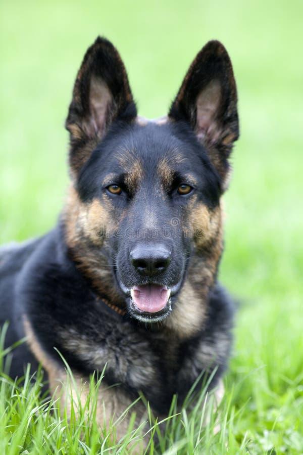 Lägger den tyska herden för hunden i äng arkivfoto