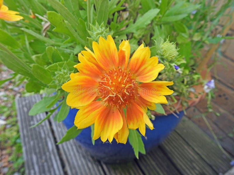Lägger in gula kronbladstamens för sommar den lilla trädgårdbehållaren royaltyfri foto