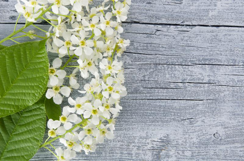 Lägger härlig lantlig naturlig bakgrund för våren med att blomma filialer och häggblommor för textkopieringsutrymme, lägenhet fotografering för bildbyråer