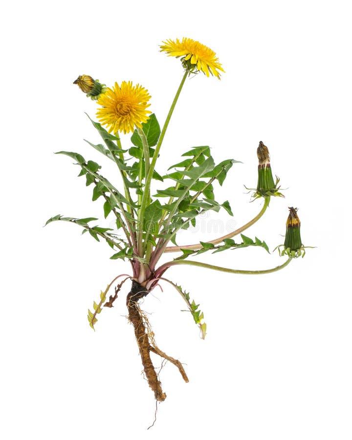 Läka växter: MaskrosTaraxacumofficinale - hel växt på vit bakgrund royaltyfri bild