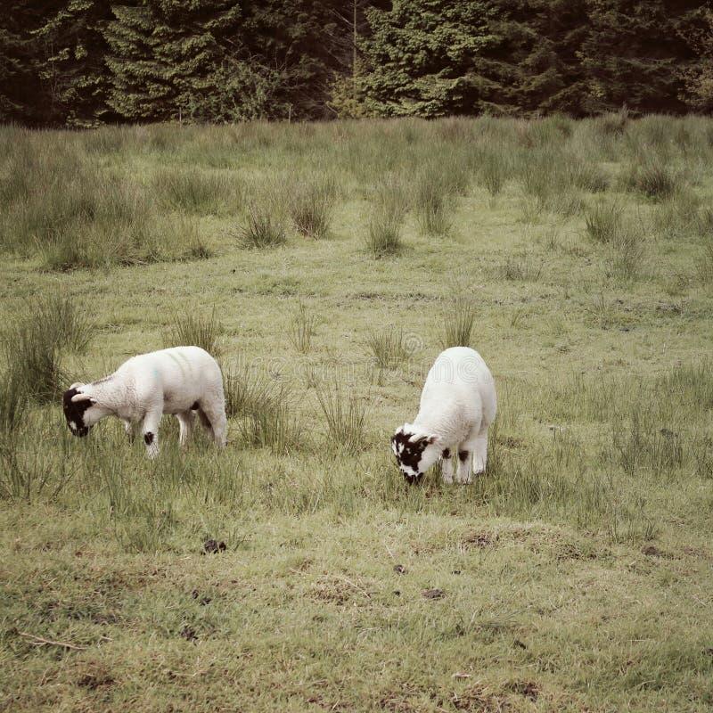 2 Lämmer in der englischen Landschaft stockfoto
