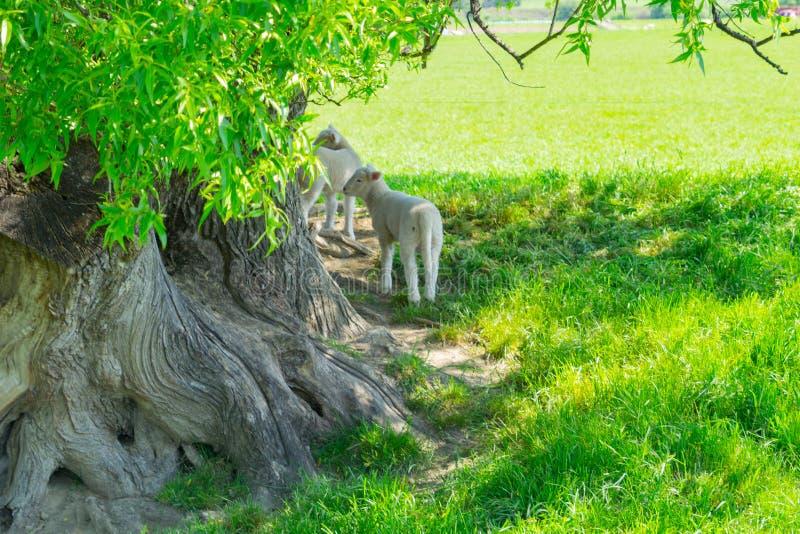 Lämmer, die im Schatten des gnarly alten Weidenbaums schützen stockbild