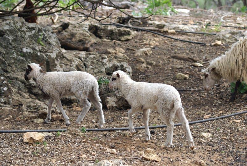 Lämmer und Mutterschaf in einem Bauernhof stockfotos