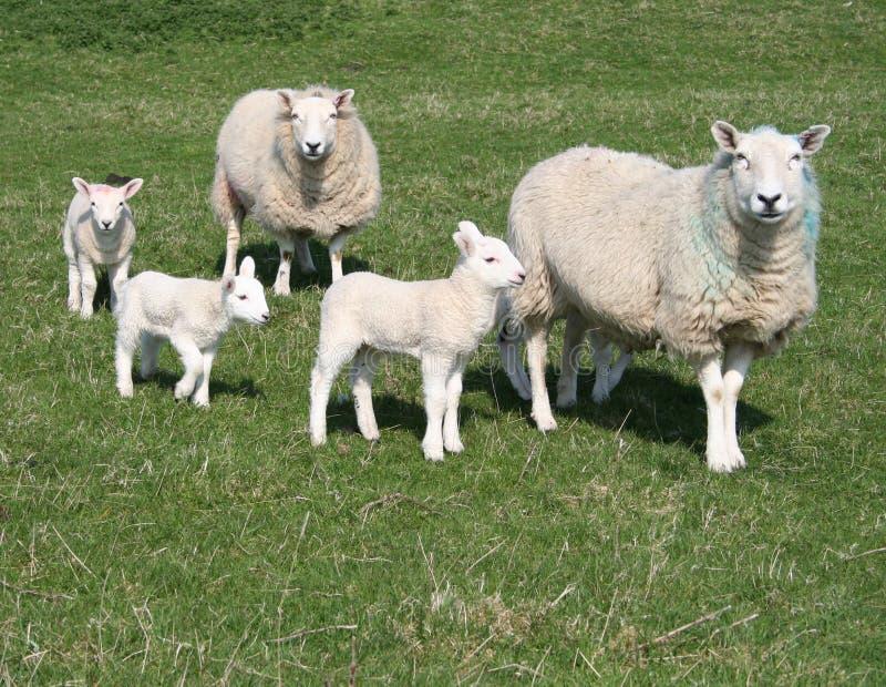 Lämmer und Schafe auf dem Gebiet stockfoto
