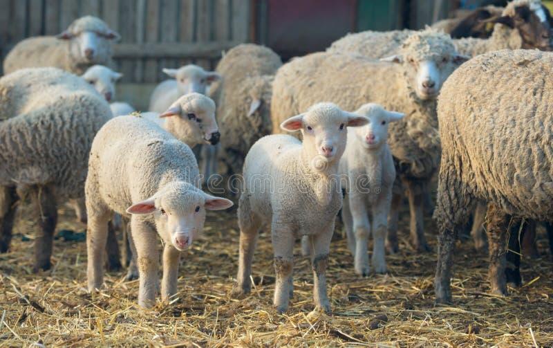 Lämmer und Schafe am Bauernhof lizenzfreies stockbild