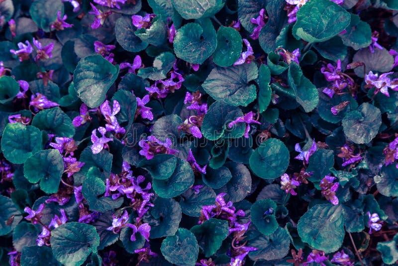 Lämnar den gröna altfiolen för bakgrund vattendroppar regnar violetta blåa purpurfärgade rosa blommor ultra royaltyfria bilder