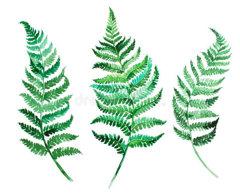 Lämnar den handpainted gröna ormbunken för vattenfärgen på vit bakgrund royaltyfri illustrationer