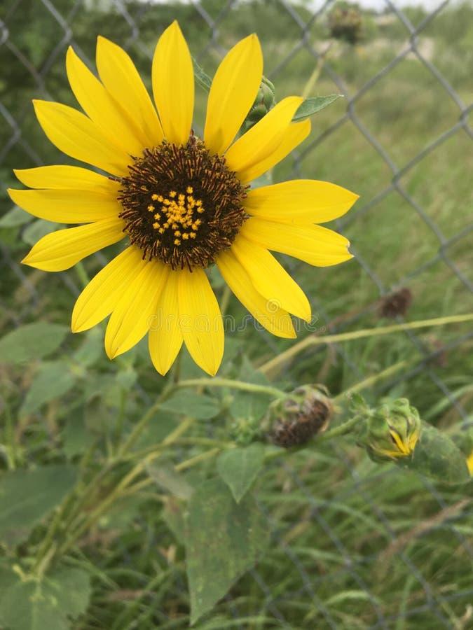 Lämnar den ljusa solrosen för naturen naturligt royaltyfri bild