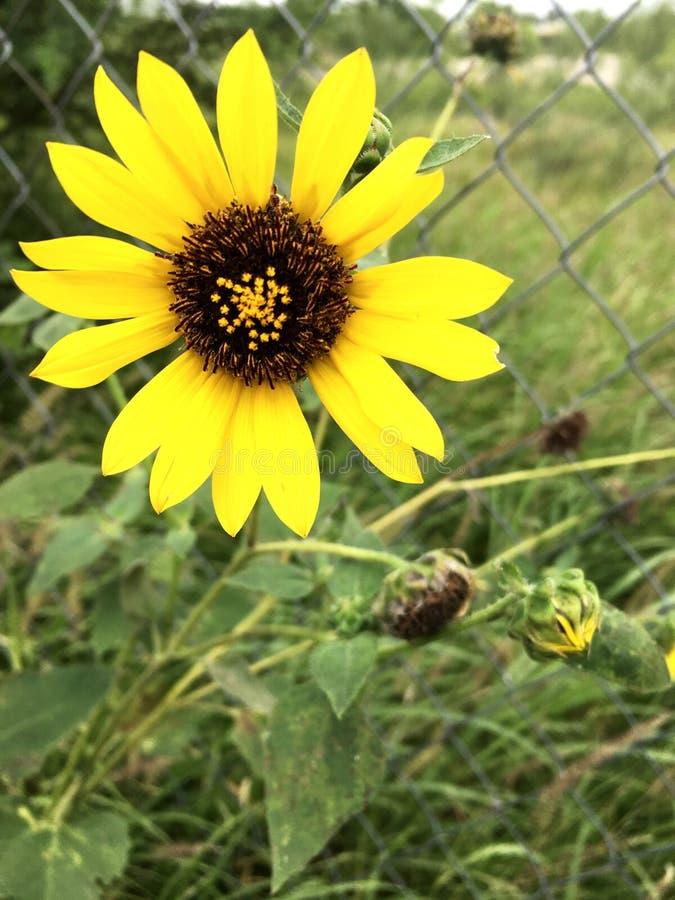 Lämnar den ljusa solrosen för naturen naturligt royaltyfri foto