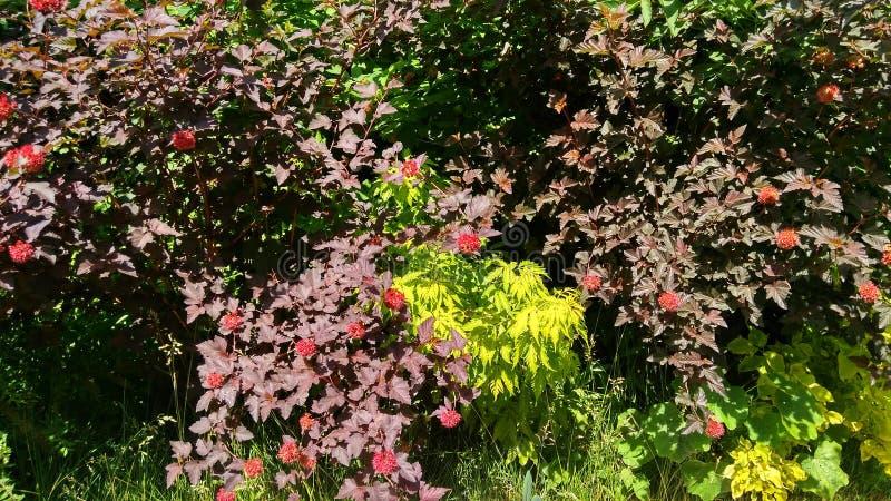 Lämnar den röda blommabusken för buskar 02 07 19 arkivfoto