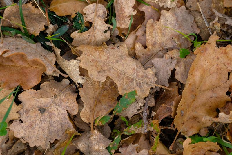 Lämnar den torra bruna eken för vintern textur, naturlig modelltapet royaltyfri foto