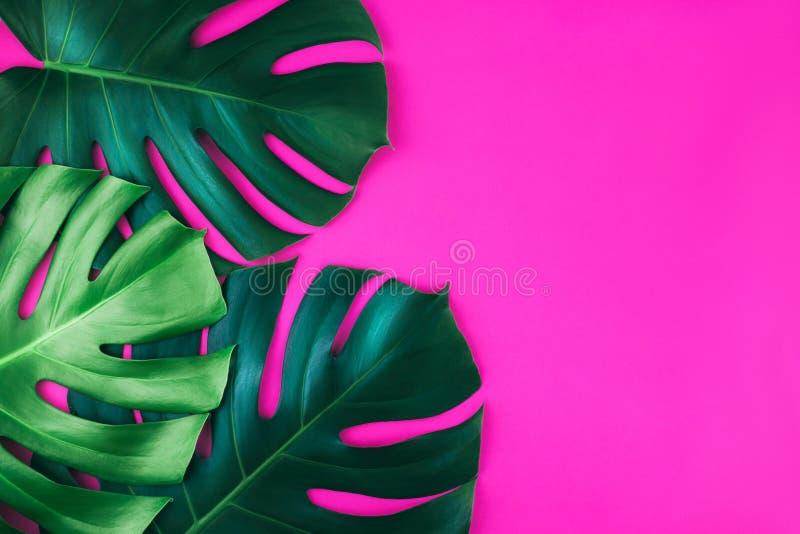 Lämnar den tropiska monsteraen för djungel tre isolerat på rosa bakgrund royaltyfria foton