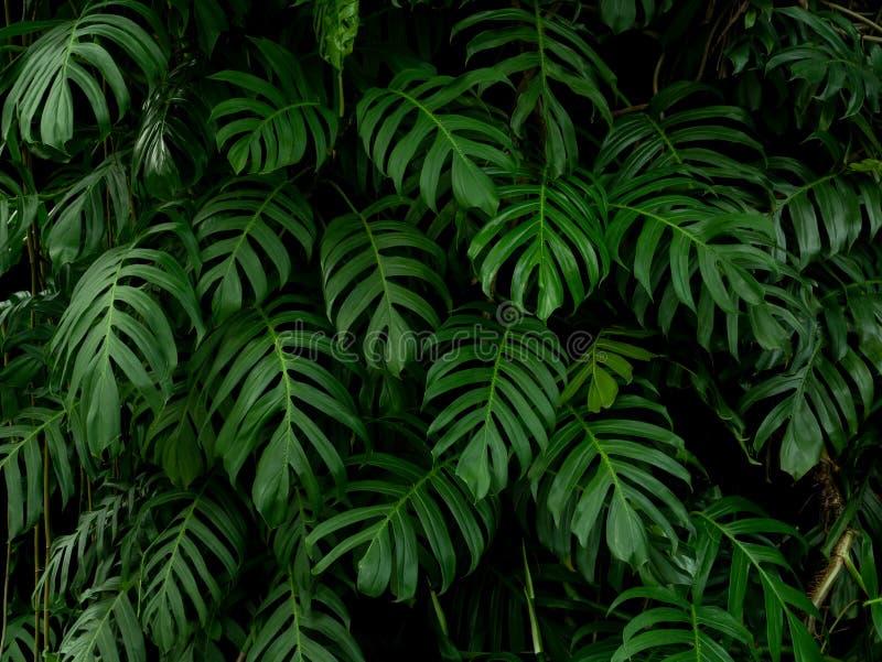 Lämnar den tropiska växten för den gröna monsteraphilodendronen vinrankabakgrund, bakgrund royaltyfri foto