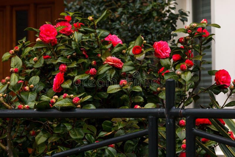 Lämnar det gröna fönstret för staketet ljusa röda rosbuskar att växa den lösa ingången arkivbilder