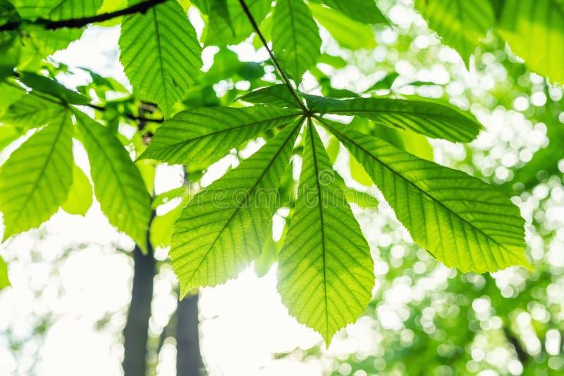 Lämnar det kastanjebruna trädet för närbildhästen med härligt solljus på bakgrund Naturlig grön skog eller att parkera tapeten royaltyfri fotografi