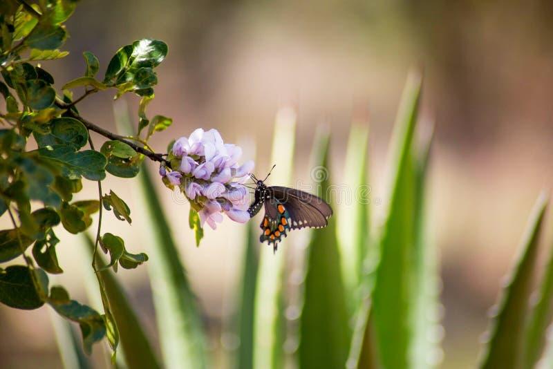Länder eines Pipevine Swallowtail Schmetterlinges auf Blume stockfotos