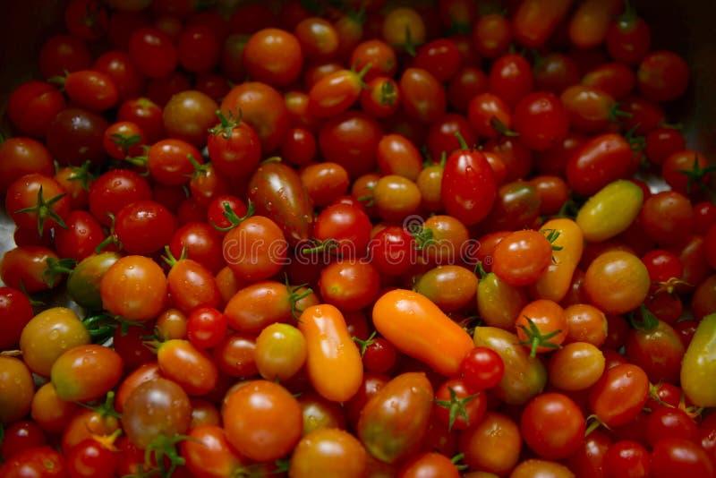 Ländliche bunte ökologische Tomaten von einer Parzelle in Großbritannien lizenzfreie stockbilder