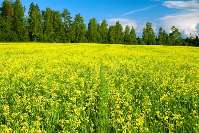 Ländliche Landschaft des Sommers mit blühendem Feld gelben Rapssamens, b lizenzfreie stockfotos