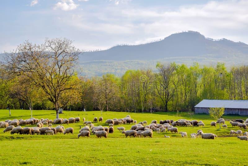 Ländliche Landschaft des szenischen Frühlinges mit Schafweide auf Vordergrund in Sapanta-Dorf, Maramures, Rumänien stockfotos