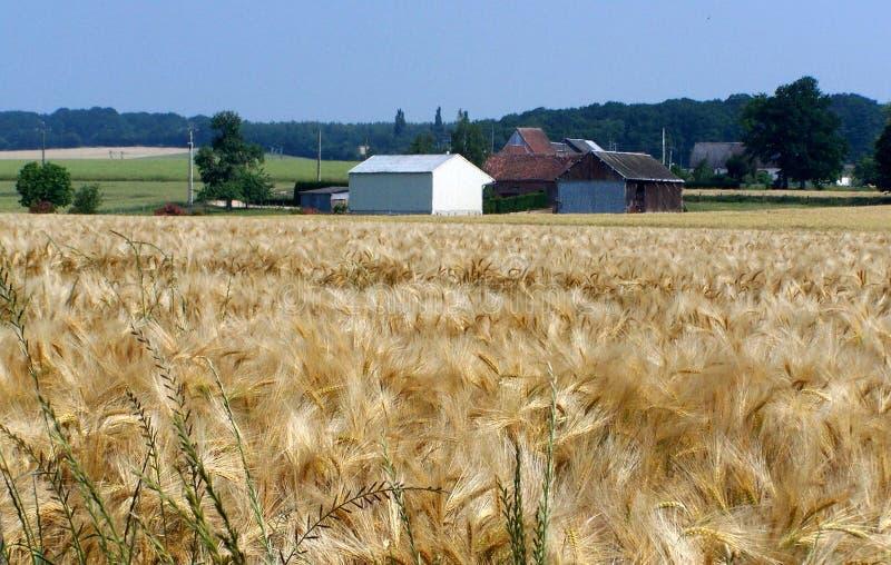 Ländliche Landschaft, ein Weizenfeld im Sommer lizenzfreie stockbilder