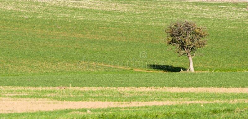 Ländliche Landschaft - einsamer Baum auf einem grünen Feld stockfotos