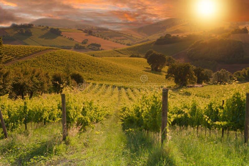 Ländliche Landschaft mit einem grünen Weinberg auf Sonnenuntergang lizenzfreie stockbilder