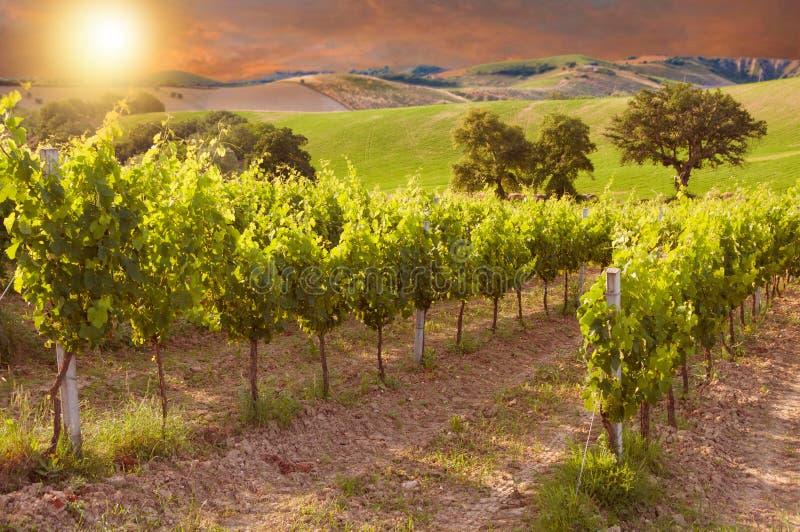 Ländliche Landschaft mit einem grünen Weinberg unter Hügeln lizenzfreie stockbilder