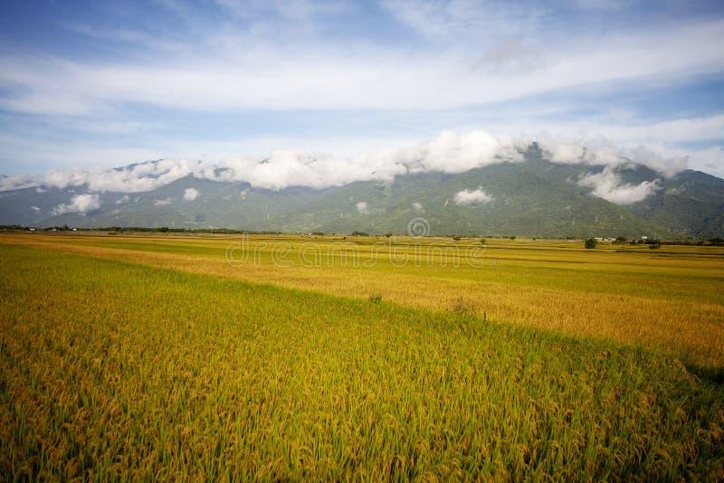 Ländliche Landschaft mit goldenem Bauernhof des ungeschälten Reises bei Luye, Taitung, Taiwan stockfoto