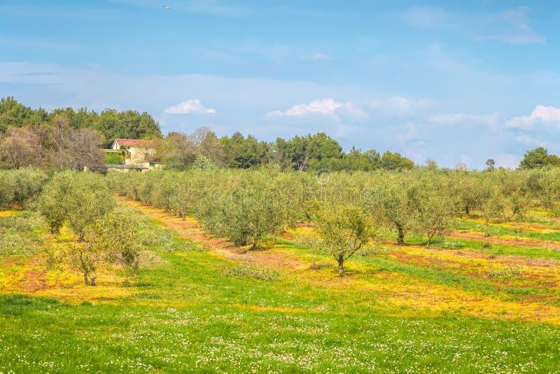 Ländliche Landschaft mit Olivenhain während eines sonnigen Tages stockbilder