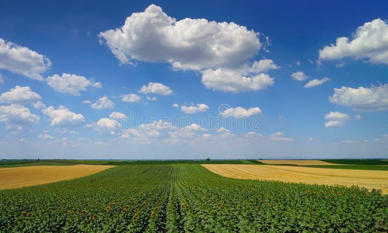 Ländliche Landschaft mit Sonnenblumen und Weizen stockfoto