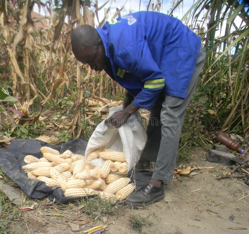 Ländlicher Landwirt, der Mais erntet stockfotografie