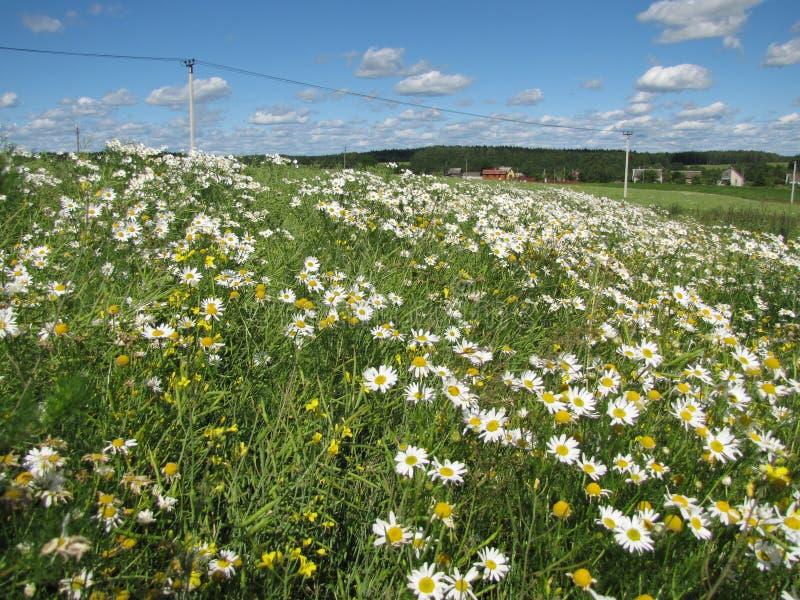 Ländliches Feld mit Gänseblümchen stockfotografie