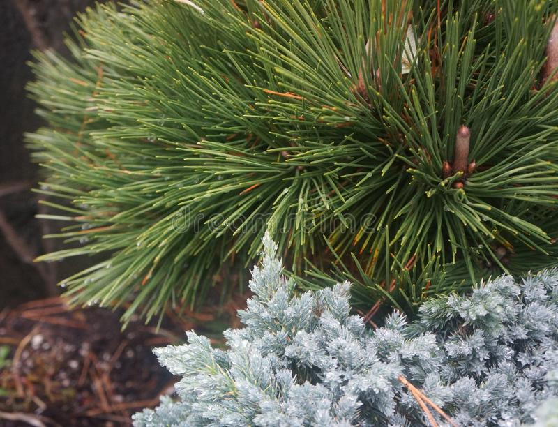 Länge needled kust- barrträd royaltyfria bilder